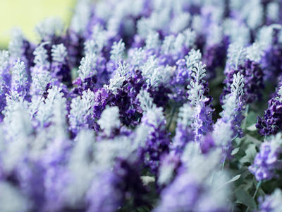 Resize 400x300 lavender cottage         001